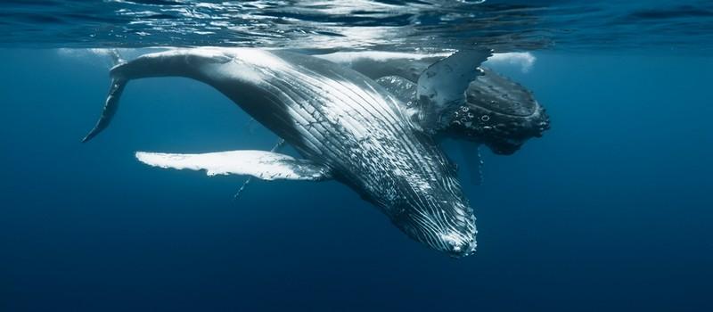 Arrivées tout droit de l'Antarctique, les grands mammifères marins profitent à la Réunion, après un voyage de plus de 8000 km des meilleures conditions climatiques possibles pour la venue au monde de leurs baleineaux. (Crédit photo IRT C.Lamblin)