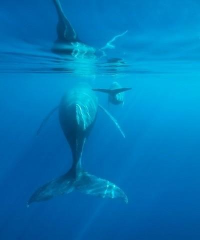 Afin de protéger les baleines et calmer les ardeurs des curieux qui pourraient perturber leur tranquillité une charte d'approche a été édictée depuis 2009.(Crédit photo IRT C.Lamblin)