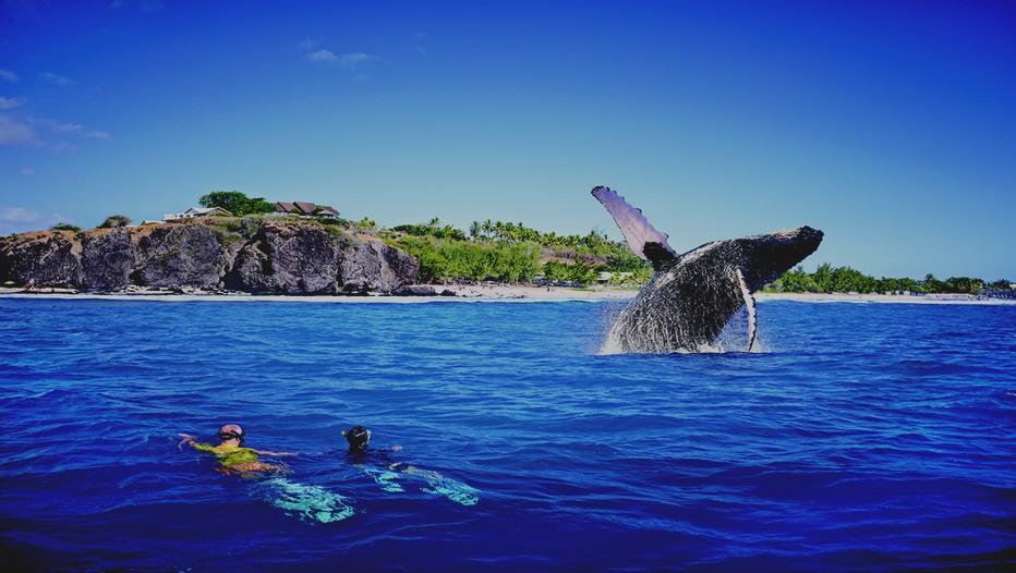 En pleine migration, les baleines à bosse venues tout droit de l'Antarctique  s'installent jusqu'en septembre sur la côte ouest de l'île entre Saint-Denis et Saint-Leu…(Crédit photo J.Akhoun - Studio Lumière)
