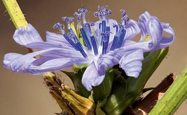 Fleur de chicorée. Photo extraite de l'album Hyper Nature du photographe et naturaliste Philippe Martin.