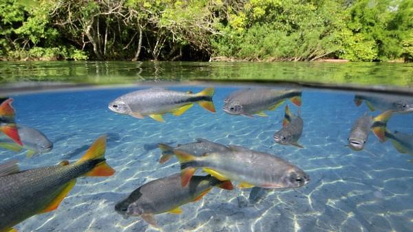 A Barra de Sucuri près de Bonito l'eau y est d'une transparence extraordinaire et permet d'observer une variété sans égale de poissons colorés. (Copyright visitbrasil.com/ )