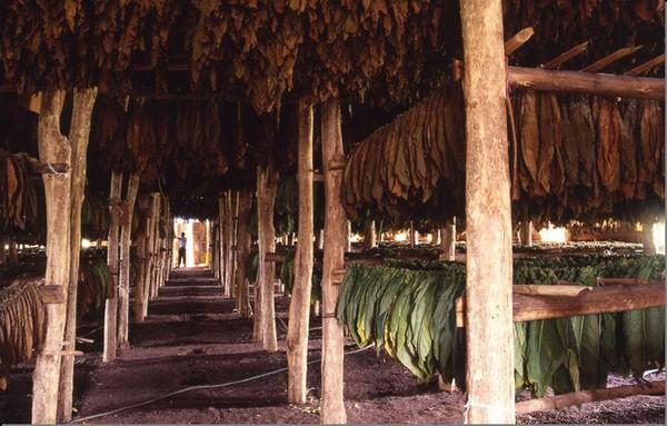 Le séchage du tabac en République Dominicaine © OT République Dominicaine