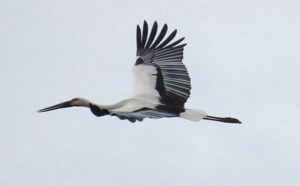 Environnement -  La cigogne blanche orientale vole à nouveau dans le ciel du Japon